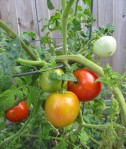 Beefsteak Tomatoes_1