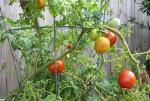 Beefsteak Tomatoes_2